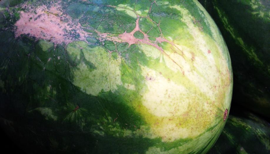 Паутинка (сеточка опыления) на арбузе