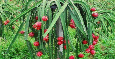 Как растет питахайя